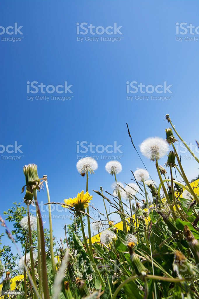 common dandelion (Taraxacum sect. Ruderalia) royalty-free stock photo