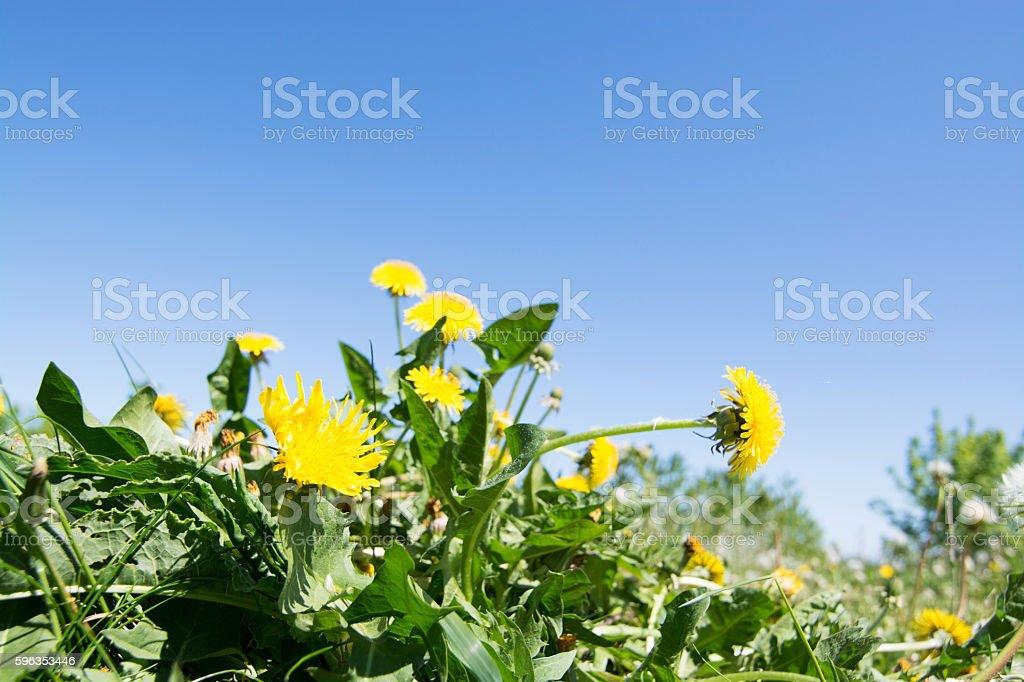 common dandelion (Taraxacum sect. Ruderalia) royalty-free stock photo