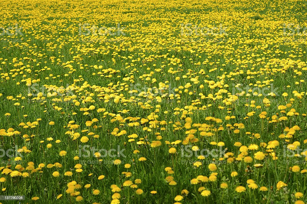 Common Dandelions royalty-free stock photo