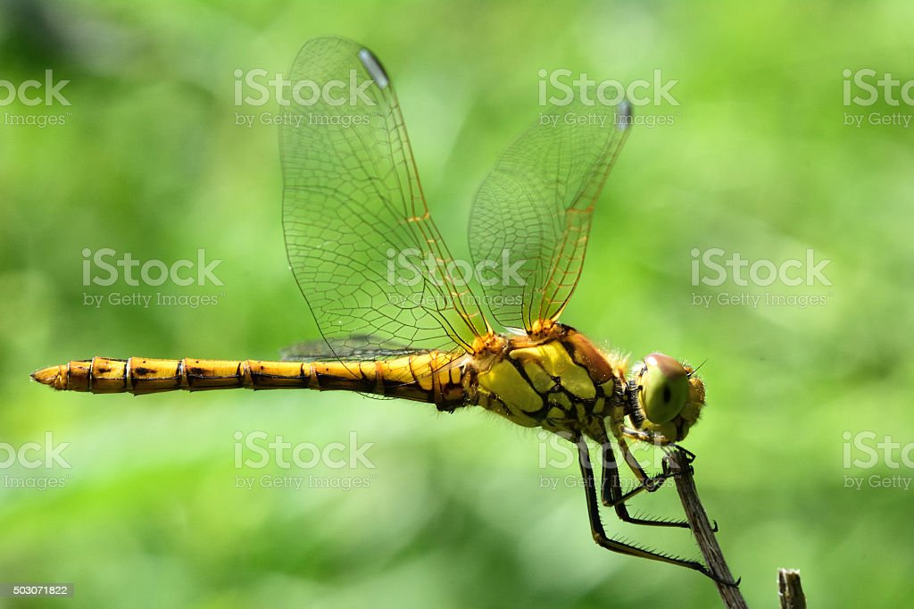 Common darter dragonfly (Sympetrum striolatum) at rest stock photo