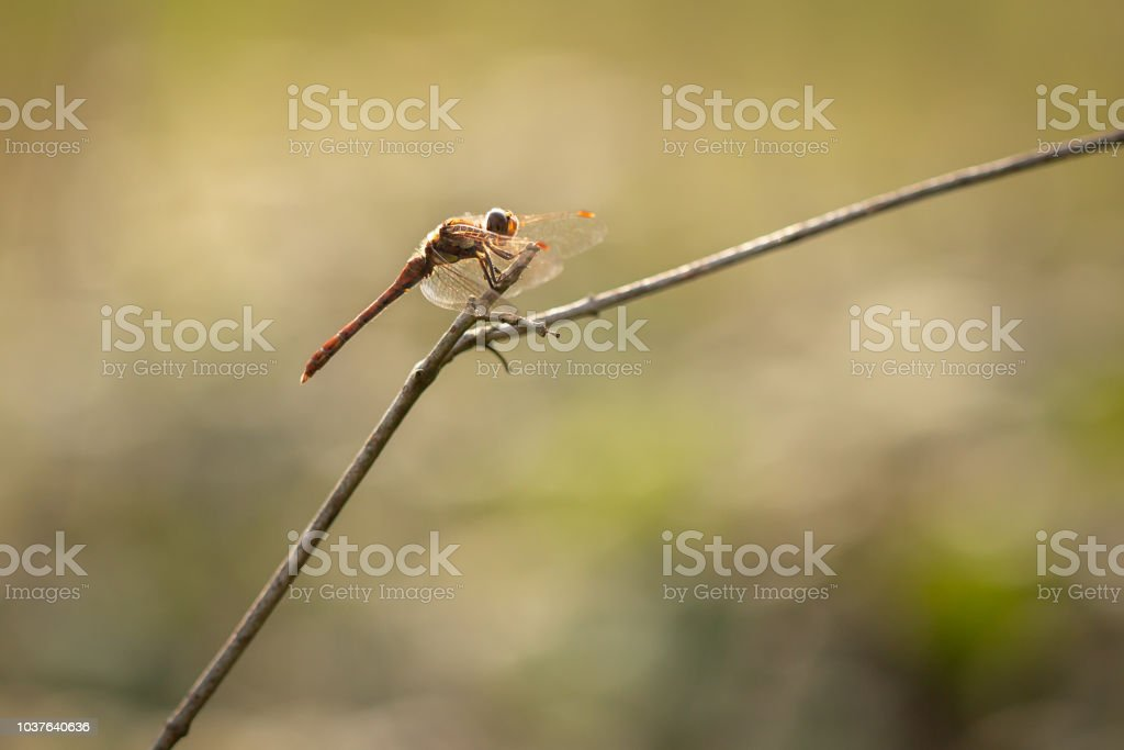 Common Darter Dragonfly from the side. stock photo