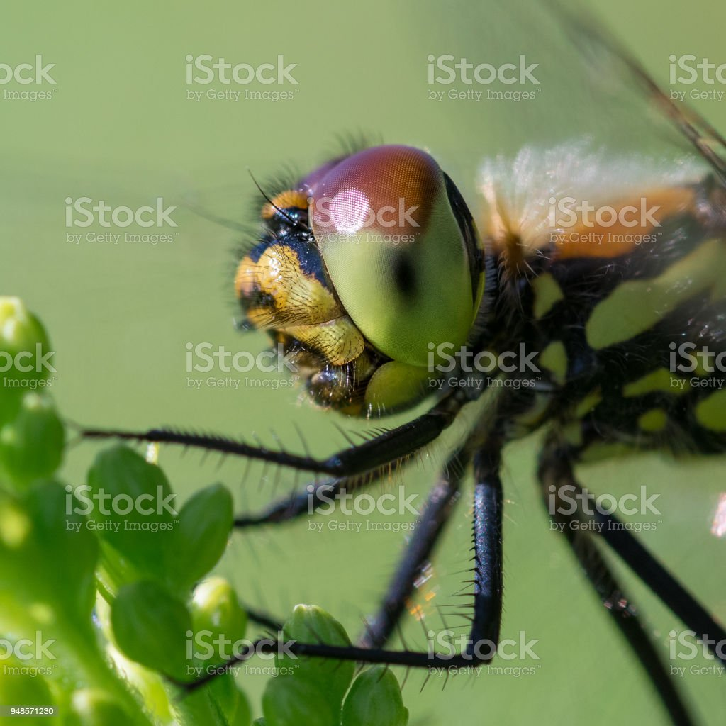 Common darter dragonfly in the profile stock photo