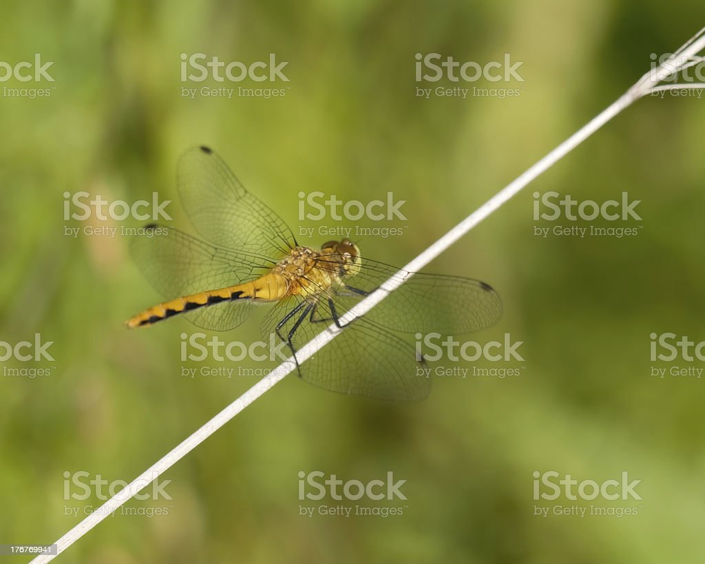 Common Darter Dragonfly on observation point royalty-free stock photo