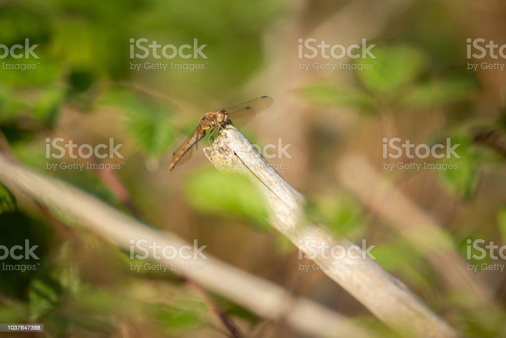 Common Darter Dragonfly resting amongst bushes. stock photo