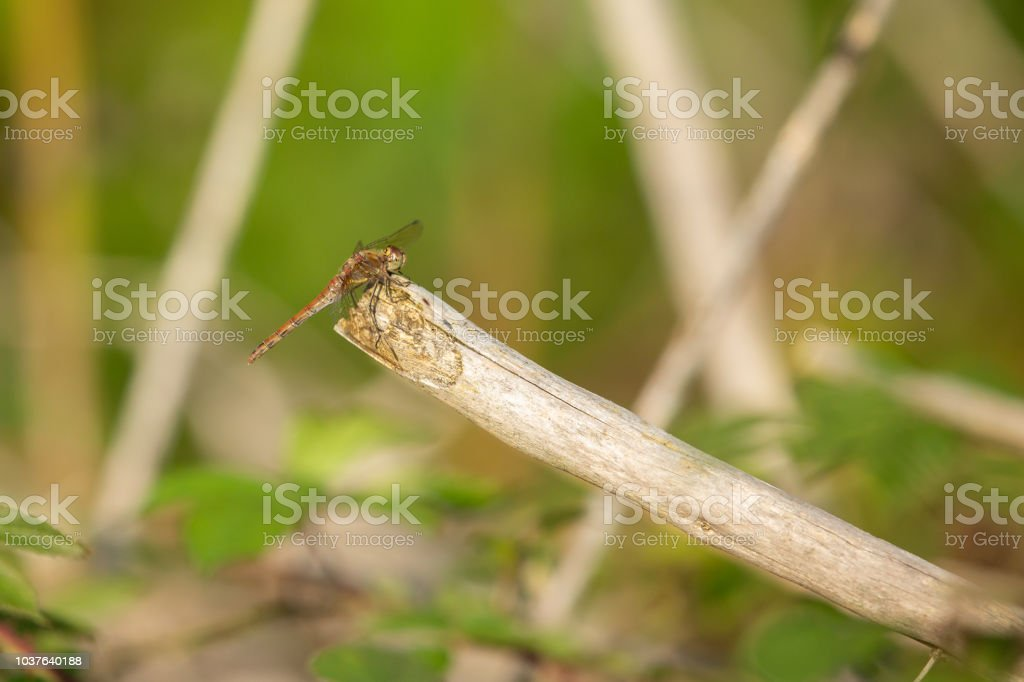 Common Darter Dragonfly resting in the evening sun. stock photo