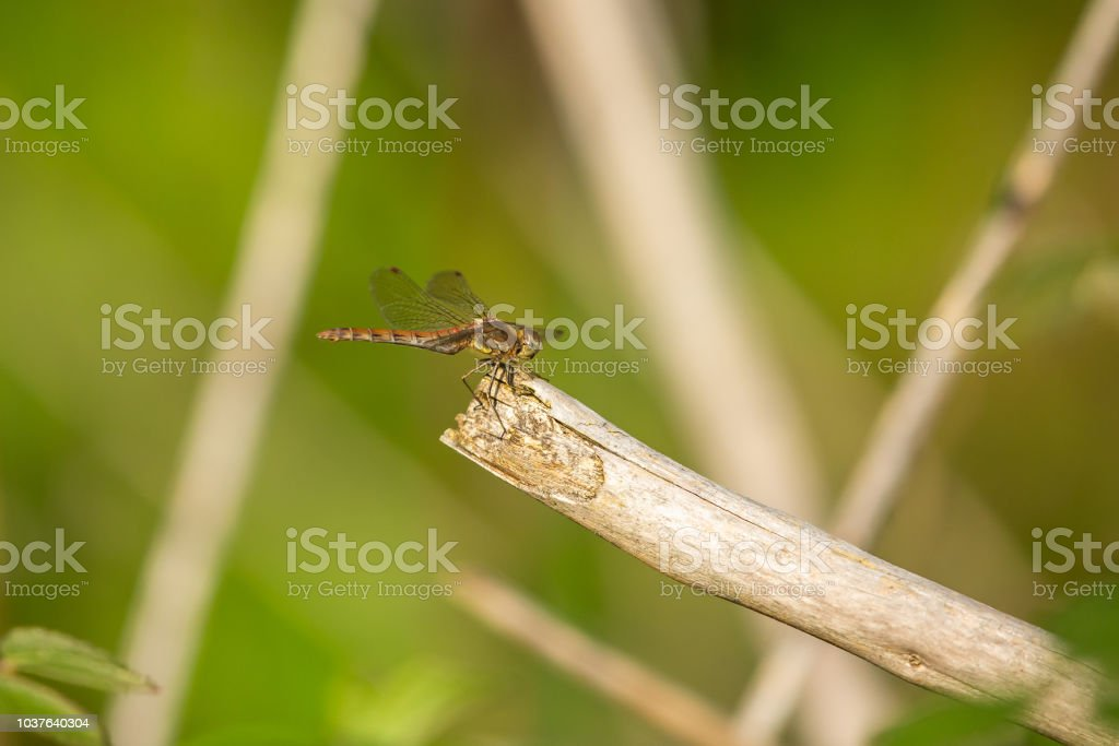 Common Darter Dragonfly resting on branch in the evening sun. stock photo