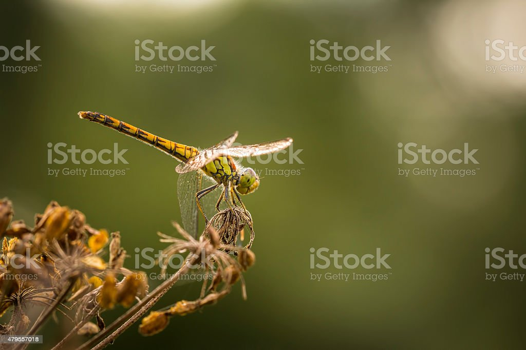 Common Darter in the golden hour stock photo
