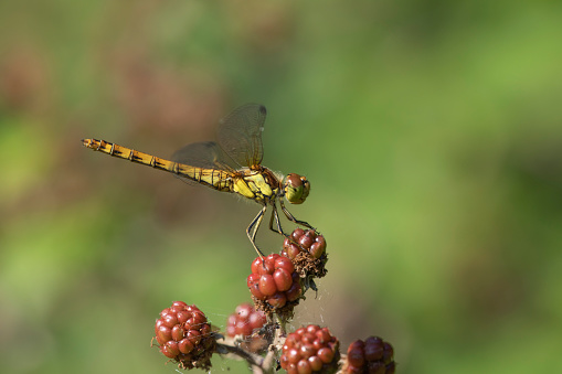 A Common Darter Dragonfly resting in sunlight