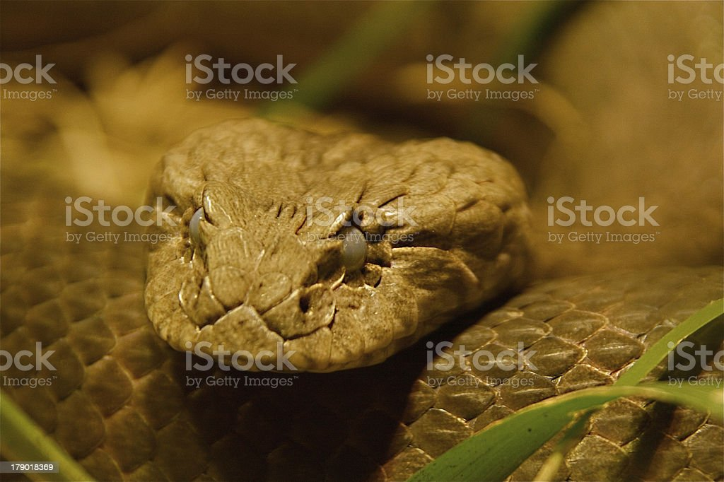 Common Death Adder stock photo