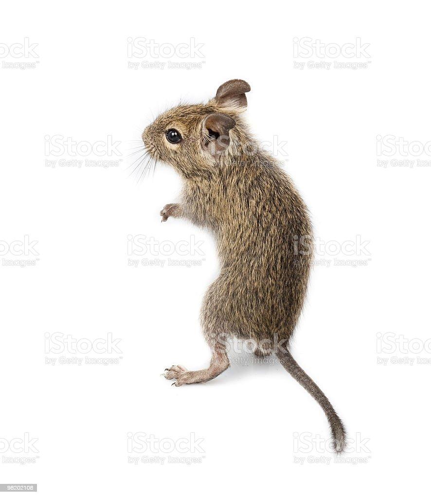 Common Degu, Brush-Tailed Rat, Octodon degus royalty-free stock photo