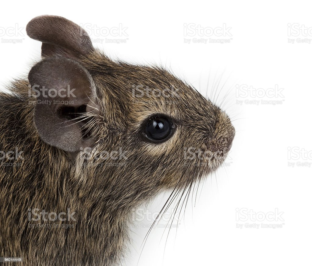Common Degu, Brush-Tailed Rat, Octodon degus royalty-free stock photo