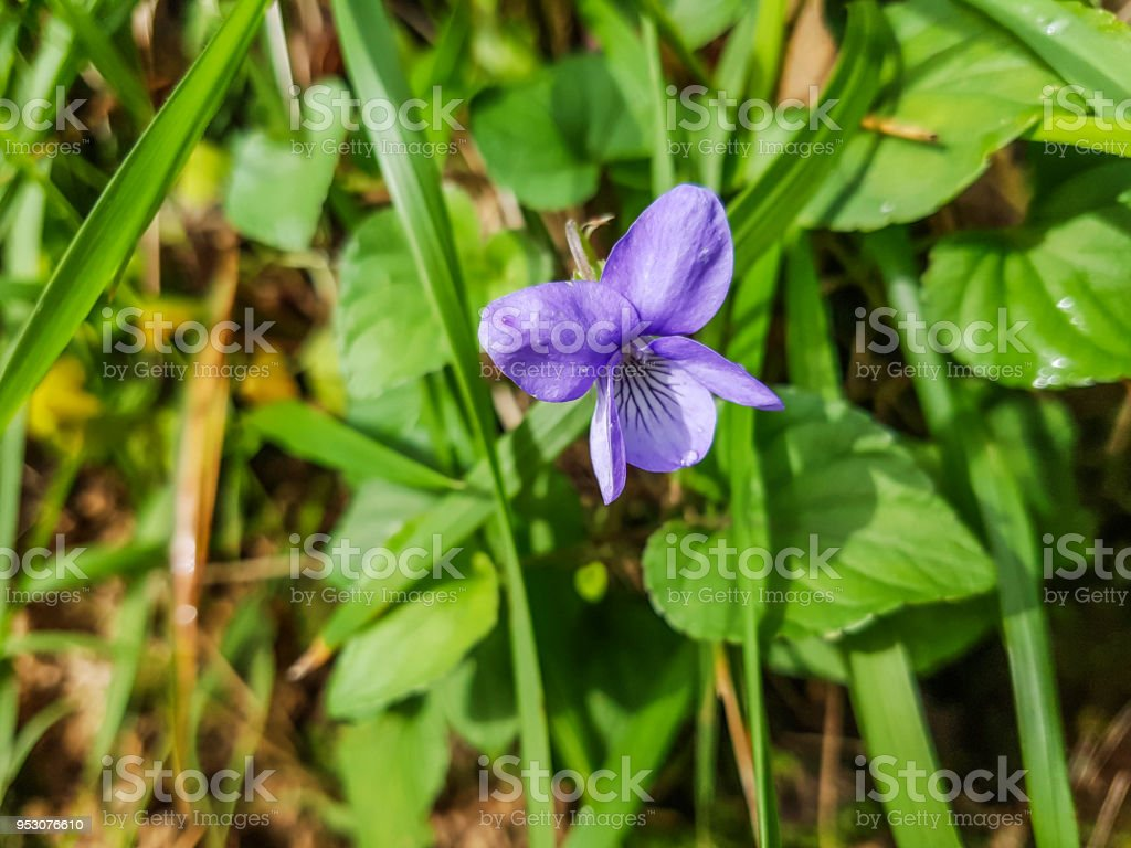 Common dog-violet royalty-free stock photo