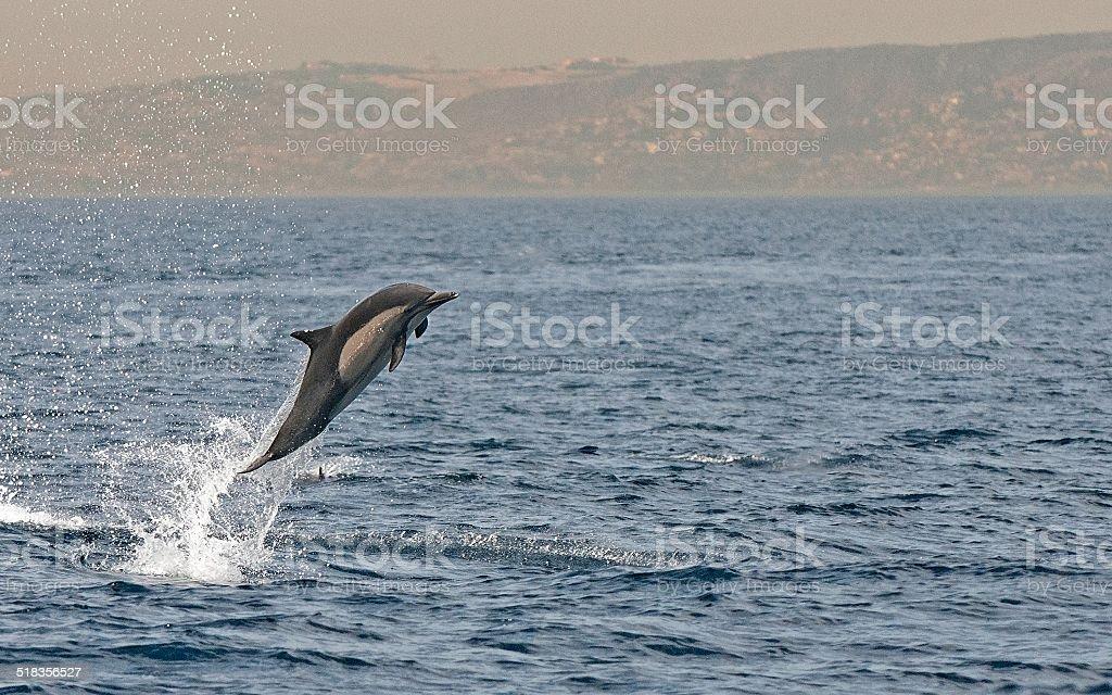 Common Dolphin Breach stock photo