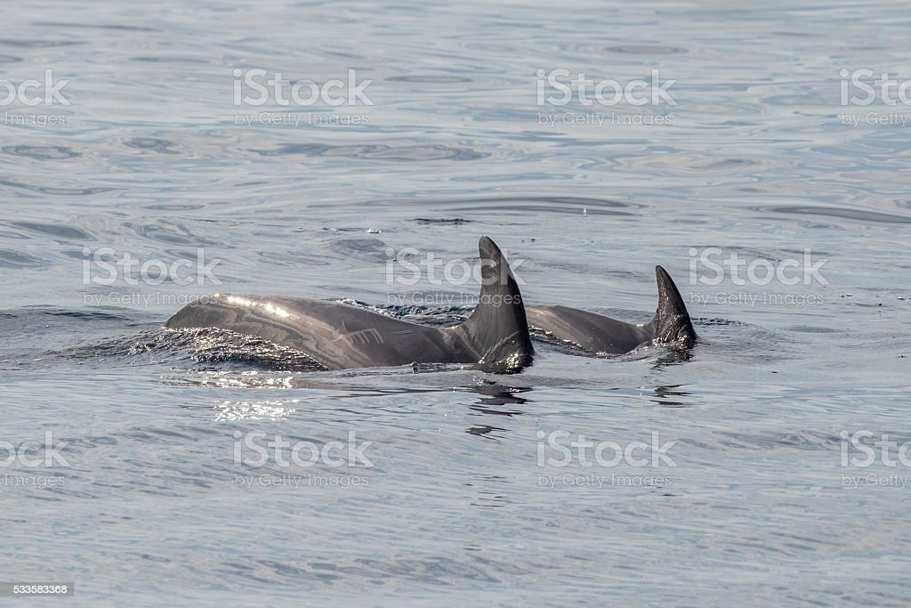 common dolphin fin detail while swimming down stock photo