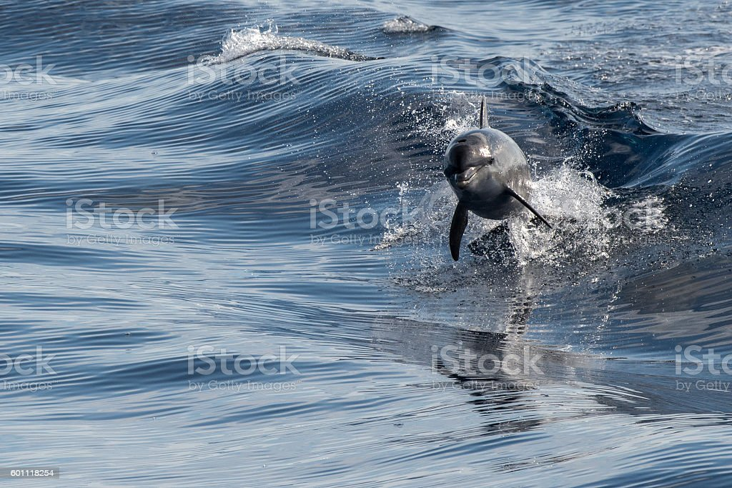 common dolphin jumping outside the blue ocean stock photo