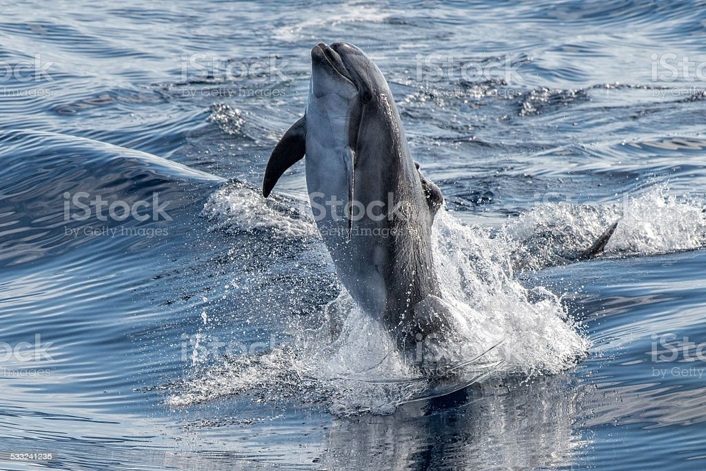 common dolphin jumping outside the ocean stock photo