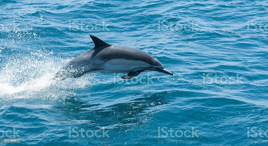 Common Dolphin Jumping stock photo