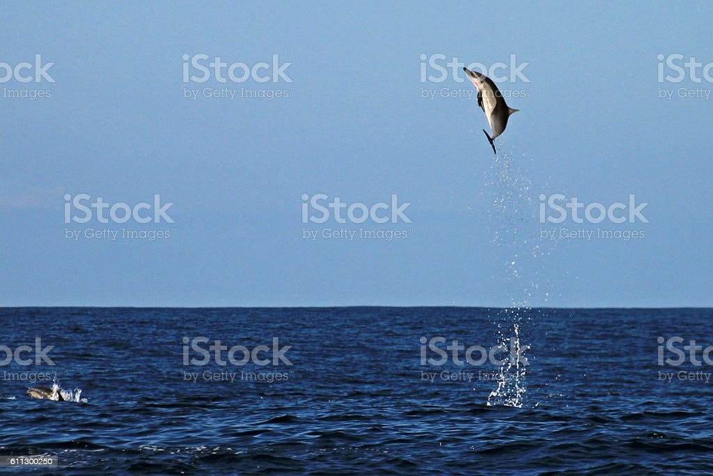 Common Dolphin jumping very high stock photo
