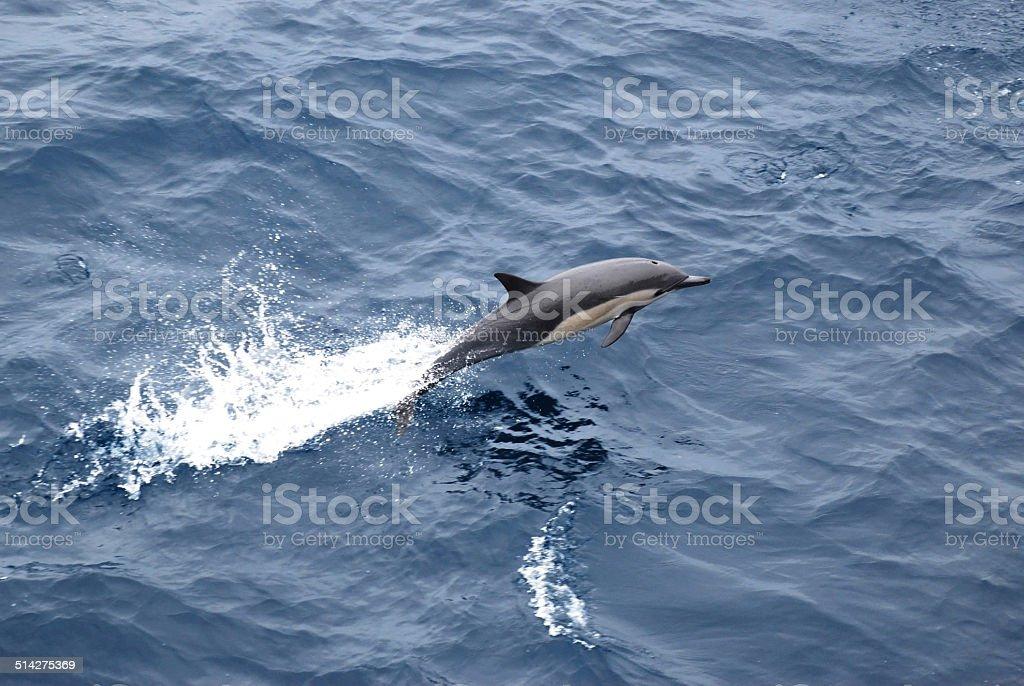 Common Dolphin stock photo