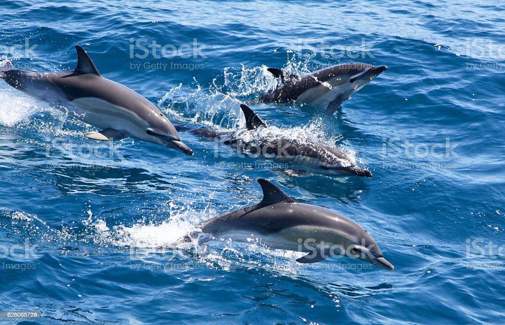 Common Dolphin pod breaching stock photo
