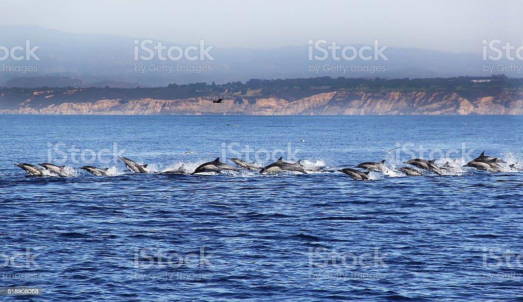 Common Dolphin Stampede Near La Jolla stock photo