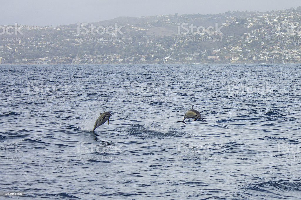 Common Dolphins in Dana Point royalty-free stock photo