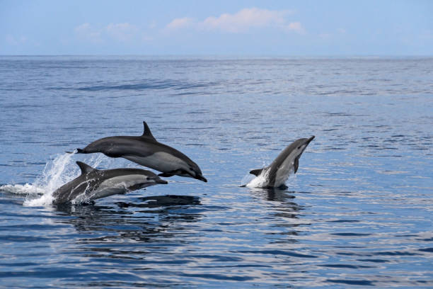 Common dolphins jumping, Costa Rica Common dolphins jumping, Costa Rica, Central America dolphin stock pictures, royalty-free photos & images