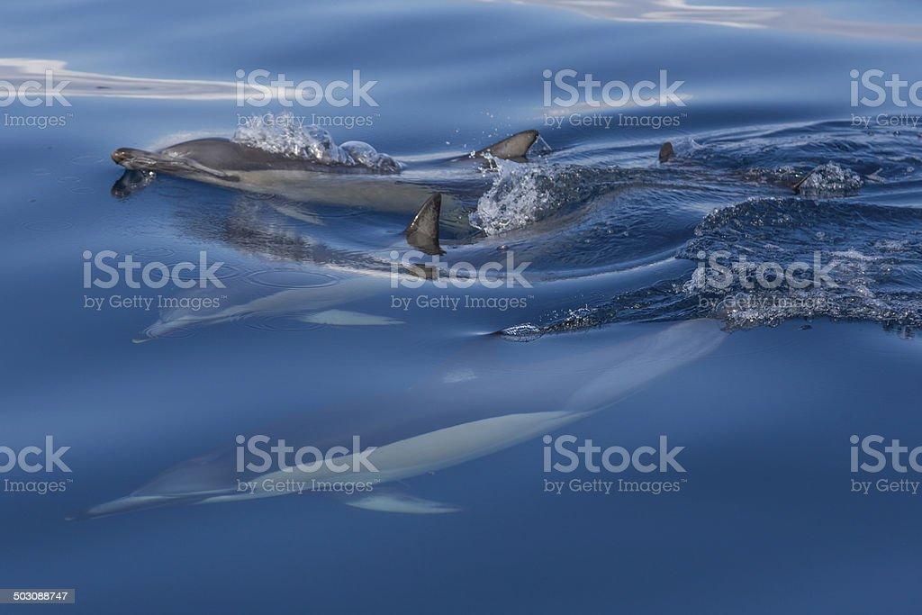 Common Dolphins stock photo