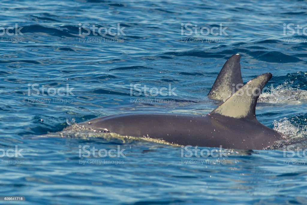 Common Dolphins playing in the Hauraki Gulf stock photo