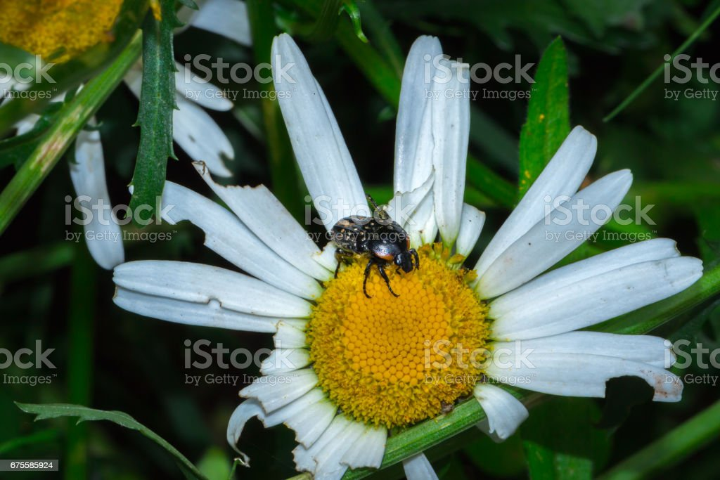 Common Dotted Fruit Chafer mating on a yellow daisy flower photo libre de droits