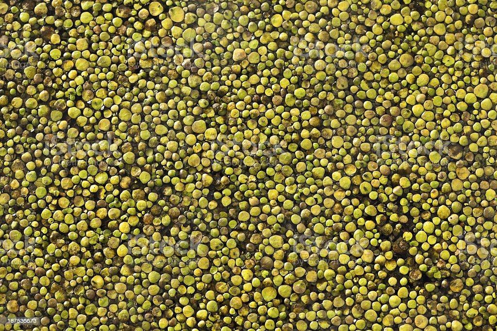 Common Duckweed (Lemna minor) royalty-free stock photo