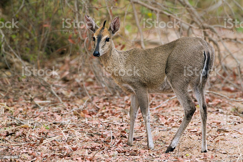 Common duiker in Kruger National park stock photo