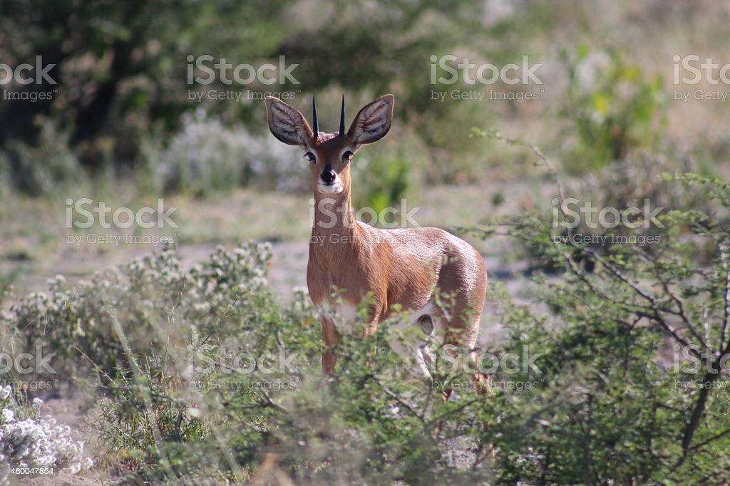 Common Duiker (Sylvicapra grimmia) stare into the camera lens. stock photo