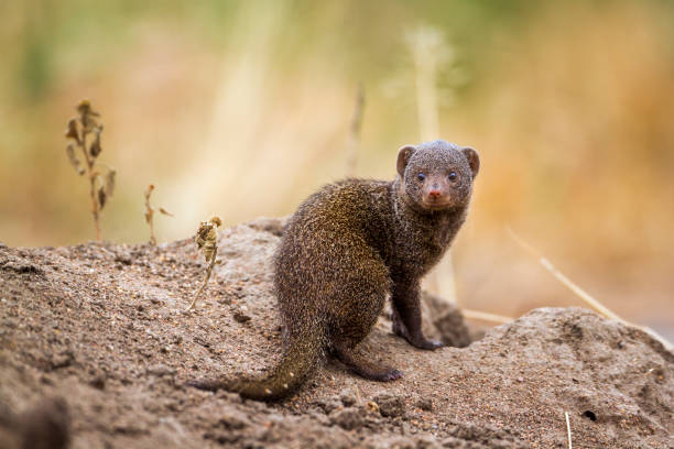 Best Mongoose Stock Photos, Pictures & Royalty-Free Images