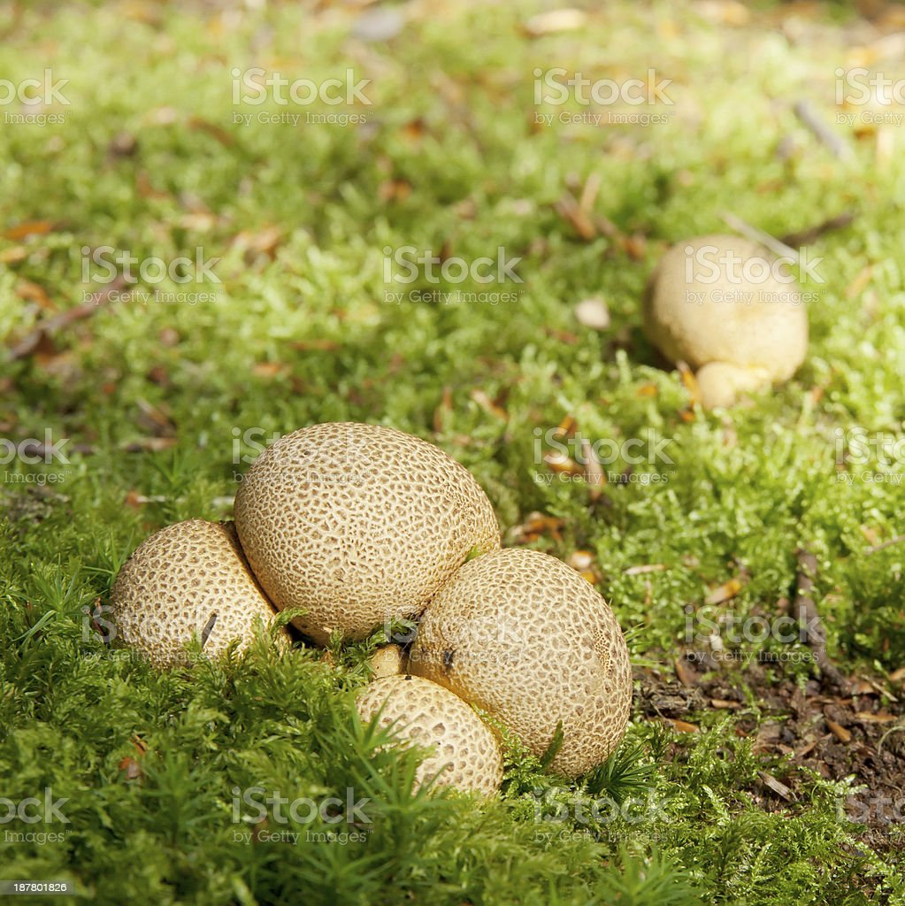 Common Earthball - Scleroderma citrinum royalty-free stock photo