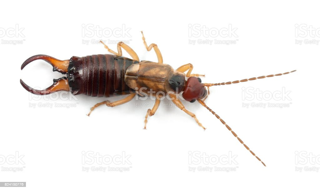 Common earwig or European earwig, Forficula auricularia against white background stock photo