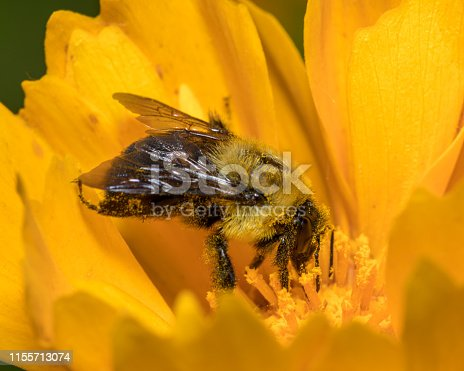 great detail of bee covered in pollen while feeding on flower