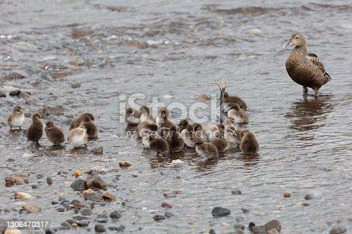 istock Common Eider duckling 1306470317