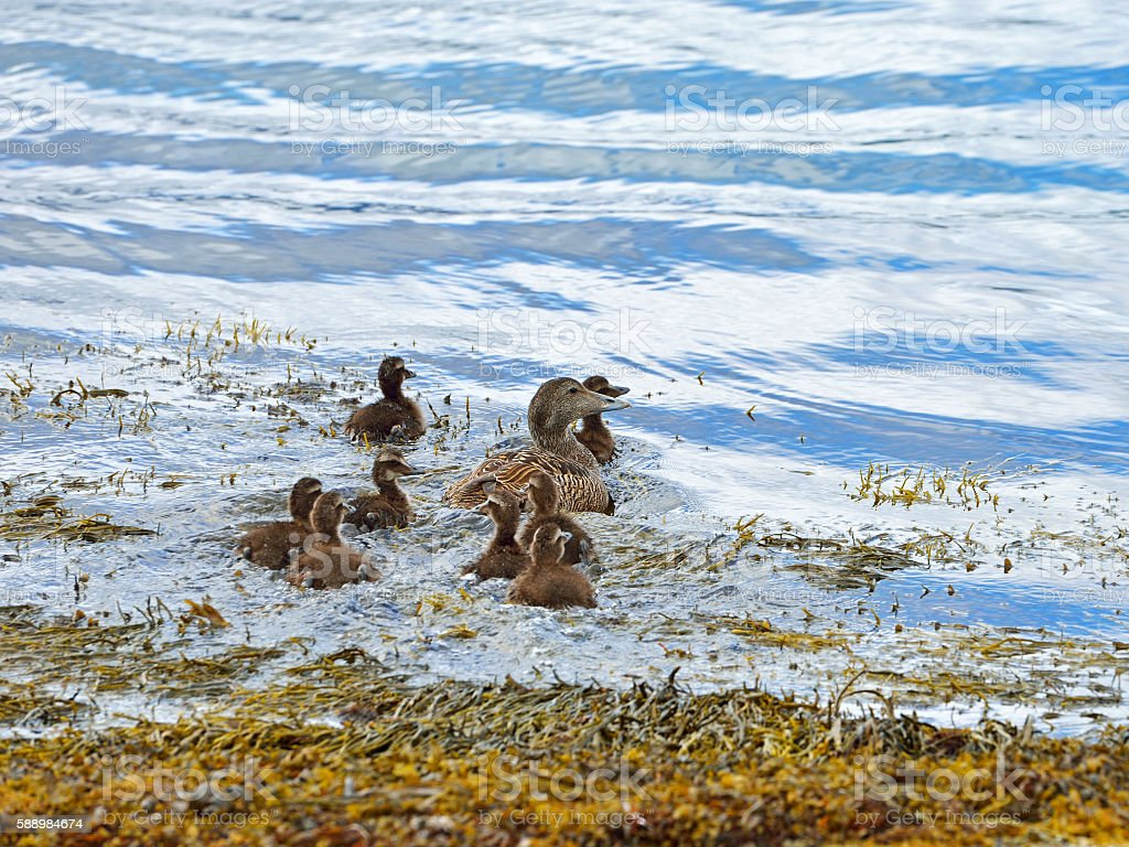Common eider (Somateria mollissima). Female with ducklings stock photo