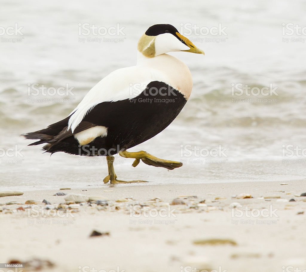 Common eider stock photo