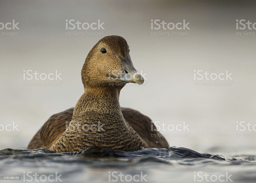 Common Eider (Somateria mollissima) stock photo