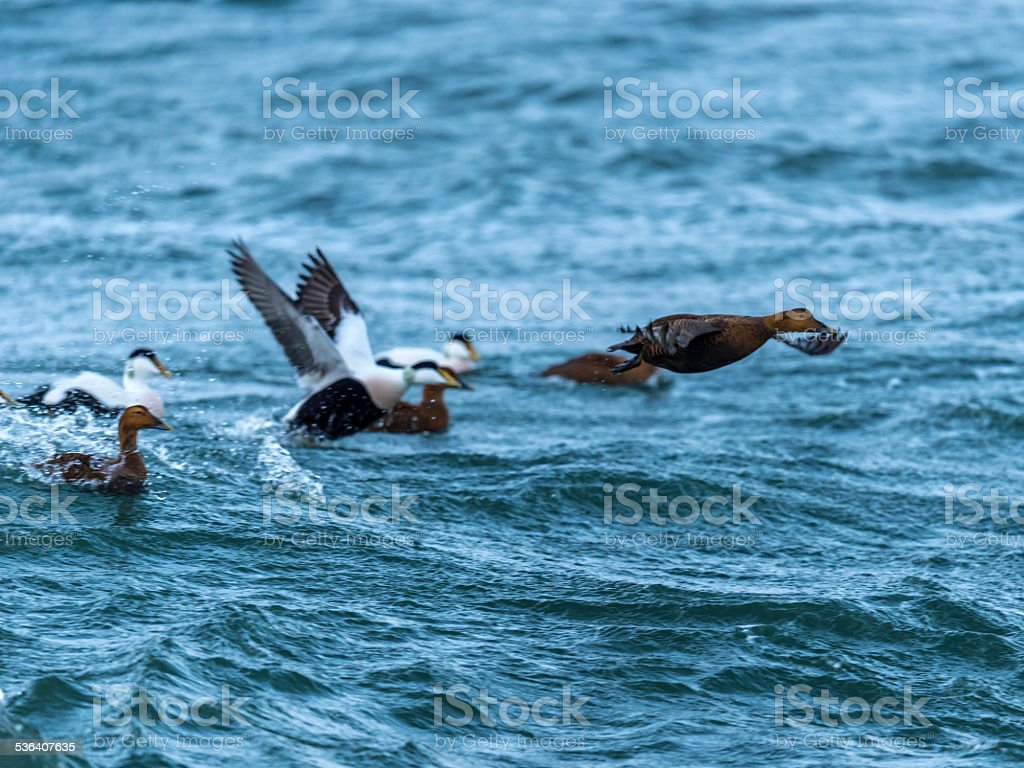 Common Eider [Somateria mollissima] stock photo