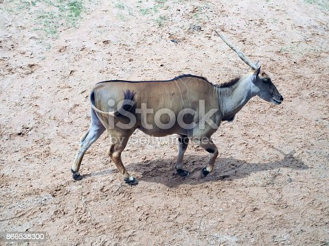 Common Eland, antelope in the safari park; beautiful wildlife animal with selective focus.