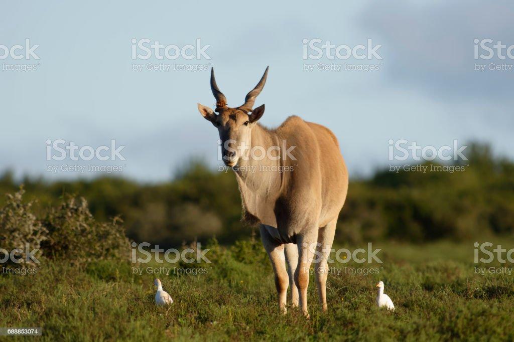Common Eland grazing, Addo Elephant National Park stock photo