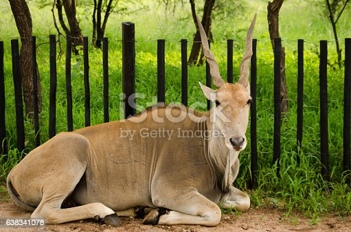 Common Elan Antelope Laying with Wooden Fence and Trees in Background
