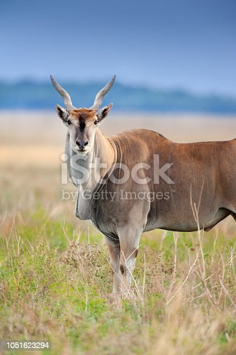 Common eland close up portrait in field