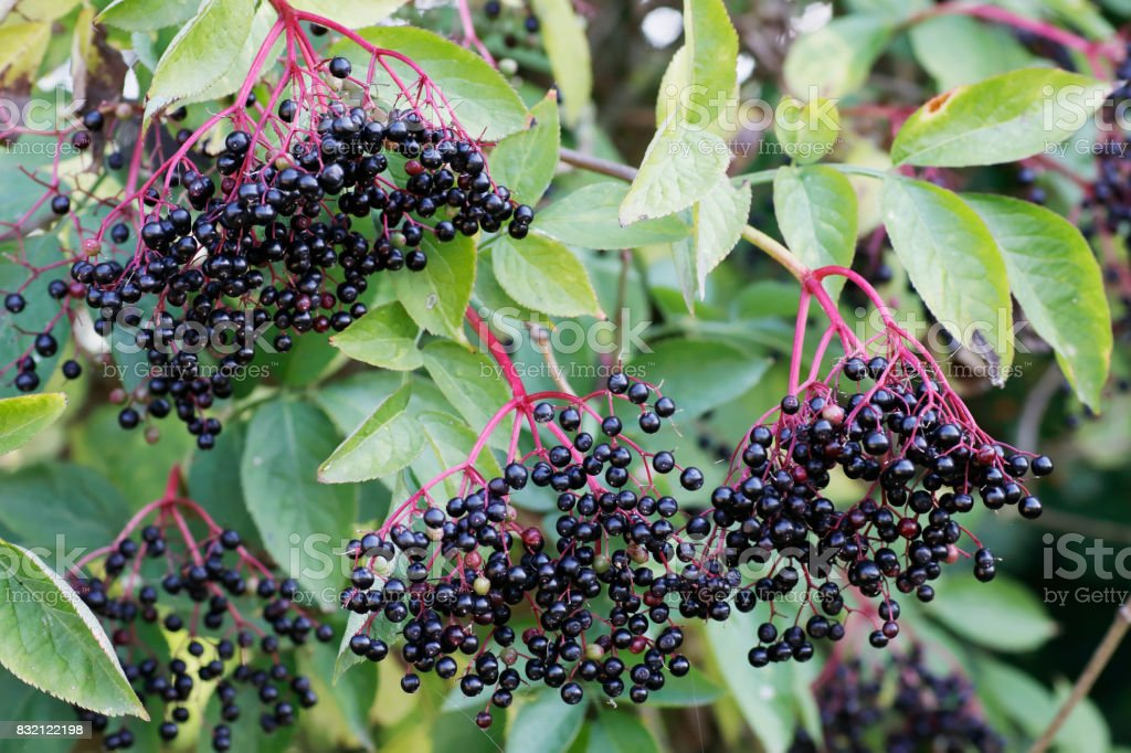 Common Elder Berries Stock Photo Download Image Now Istock