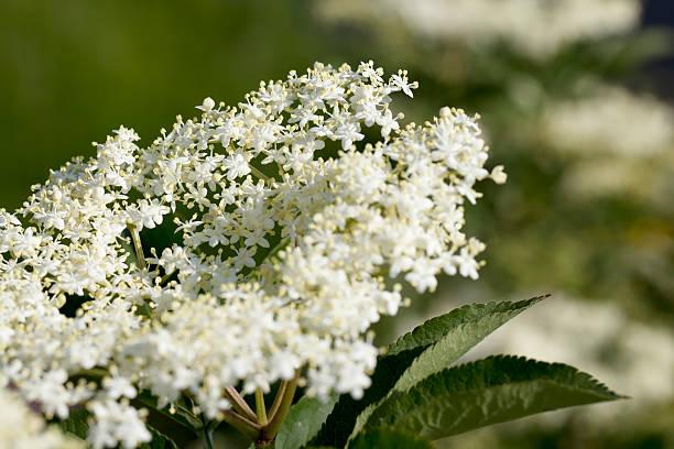 common ältere (sambucus nigra) blossom - weißer holunder stock-fotos und bilder