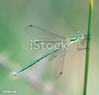 Tot 35-39mm, Ab 25-33mm, Hw 17-24mm. Average size and build for a Spreadwing.  The most widespread and numerous Lestes in many areas, probably because it is less partial to ephemeral habitats.  Occurrence: One of the commonest damselflies in most of Northern Europe across to japan, but (largely) absent from most of the south.  Habitat: Almost any standing water with ample reed-like vegetation. May be more numerous at recent shallow or acidic sites, but not specific  to pioneer, ephemeral or bog-like conditions.  Flight Season: Generally from mid-May to mid-October, peaking in August. Most emergence tends to be a week later than L. dryas.  This is a common Species in the Netherlands.