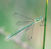 Tot 35-39mm, Ab 25-33mm, Hw 17-24mm. Average size and build for a Spreadwing.\n\nThe most widespread and numerous Lestes in many areas, probably because it is less partial to ephemeral habitats.\n\nOccurrence:\nOne of the commonest damselflies in most of Northern Europe across to japan, but (largely) absent from most of the south.\n\nHabitat:\nAlmost any standing water with ample reed-like vegetation. May be more numerous at recent shallow or acidic sites, but not specific  to pioneer, ephemeral or bog-like conditions.\n\nFlight Season:\nGenerally from mid-May to mid-October, peaking in August. Most emergence tends to be a week later than L. dryas.\n\nThis is a common Species in the Netherlands.